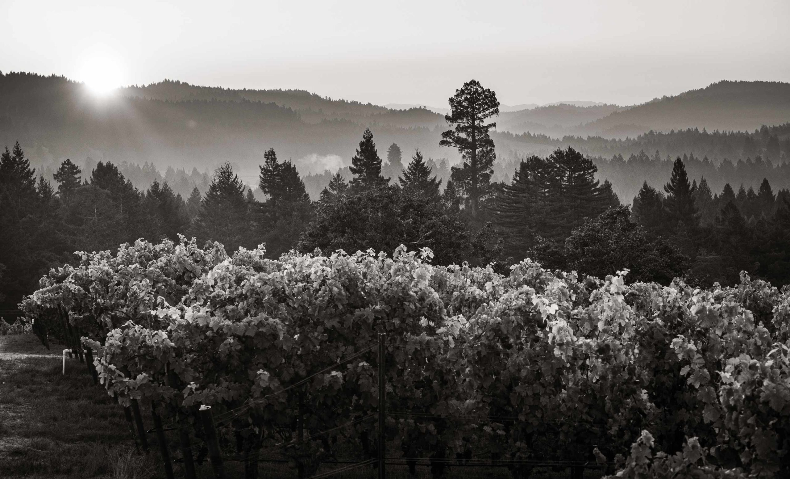 Featured image for Article: Is There Still Hope for Syrah?